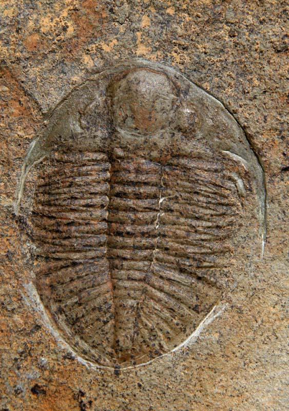 Ordovician Trilobite